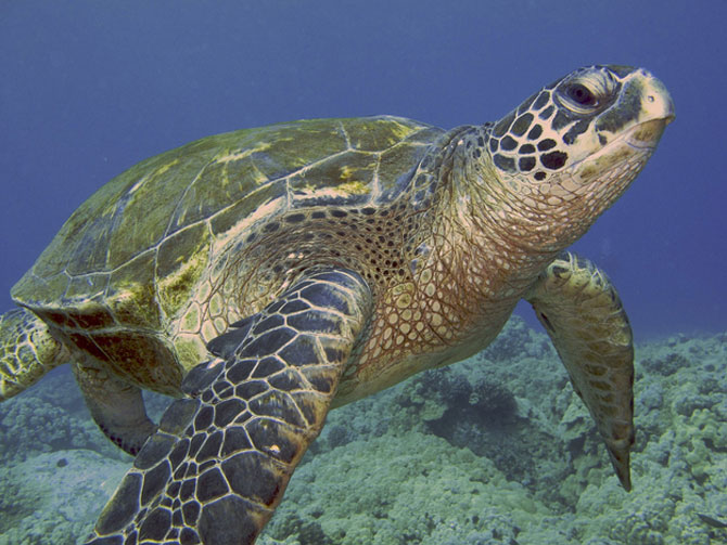 Черепаха и рифы.