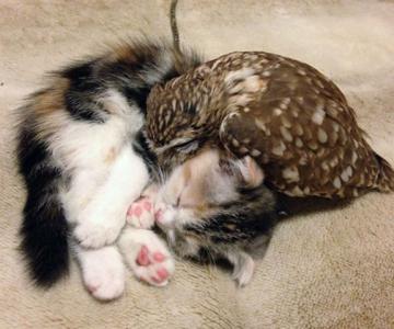 Prietenie neobisnuita: un pui de pisica si unul de bufnita devin de ne