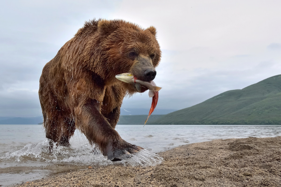 Ursul brun din Kamchatka, intr-un pictorial de exceptie - Poza 1