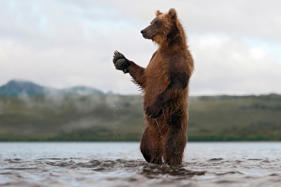 Ursul brun din Kamchatka, intr-un pictorial de exceptie - Poza 7