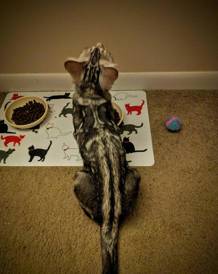 13 exemple de pisici cu infatisare atipica - Poza 4