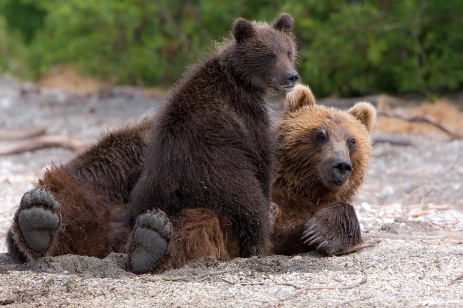 Ursul brun din Kamchatka, intr-un pictorial de exceptie - Poza 16