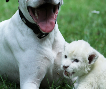 Cainele care a adoptat un pui de leu