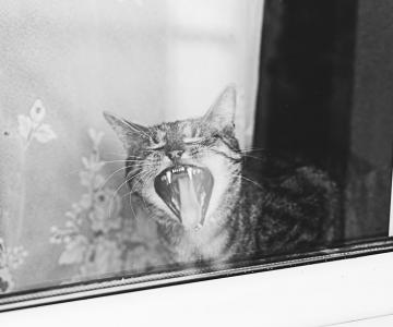 Pisici la fereastra, in poze alb-negru