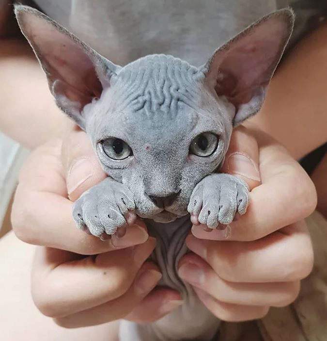 Frumusetea bizara a pisicutelor Sphynx, in poze de exceptie - Poza 3