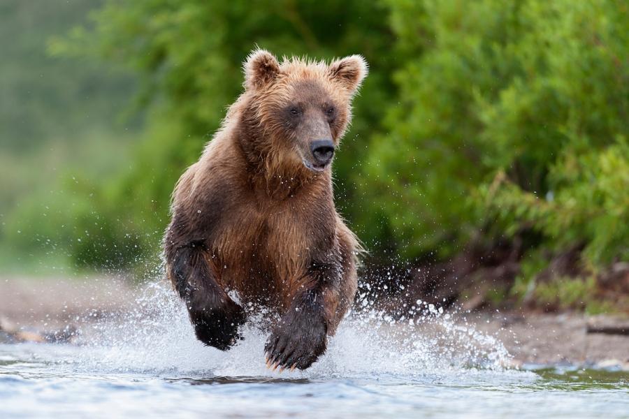 Ursul brun din Kamchatka, intr-un pictorial de exceptie - Poza 3