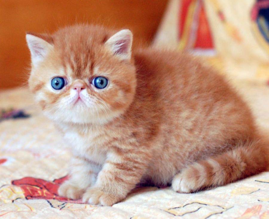 Cele mai frumoase rase de pisici din lume - Poza 13
