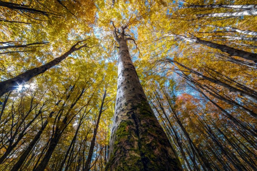 Splendoarea arborilor centenari, in urcusul lor spre cer - Poza 7