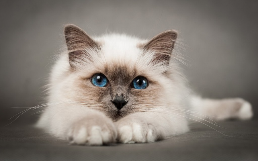 Cele mai frumoase rase de pisici din lume - Poza 7