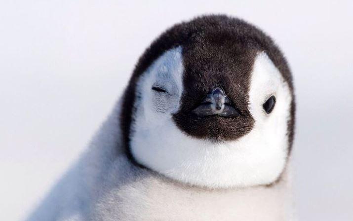 Cele mai simpatice animalute de la Polul Nord, in poze adorabile - Poza 8