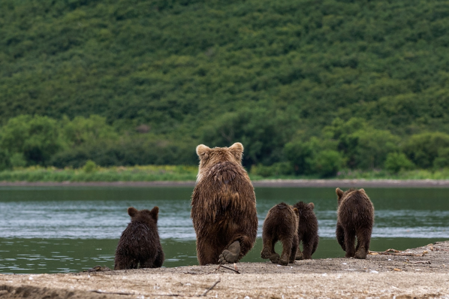 Ursul brun din Kamchatka, intr-un pictorial de exceptie - Poza 21