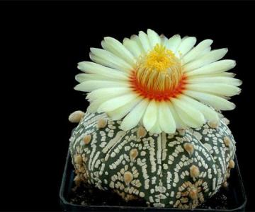 Flori de...cactus!