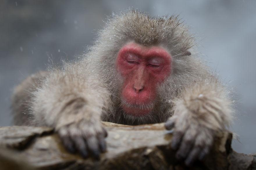 Expresiile impresionante ale maimutelor de zapada - Poza 8