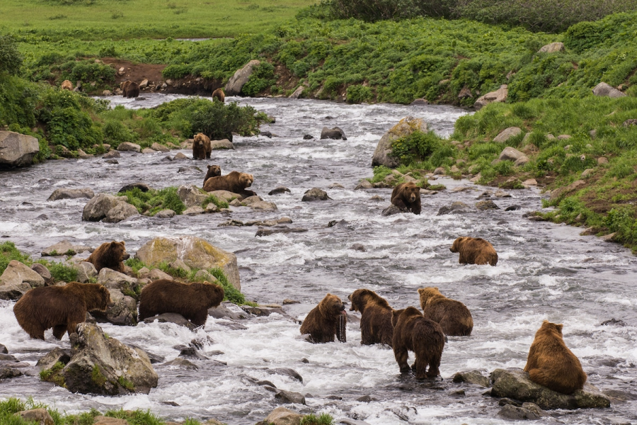 Ursul brun din Kamchatka, intr-un pictorial de exceptie - Poza 20
