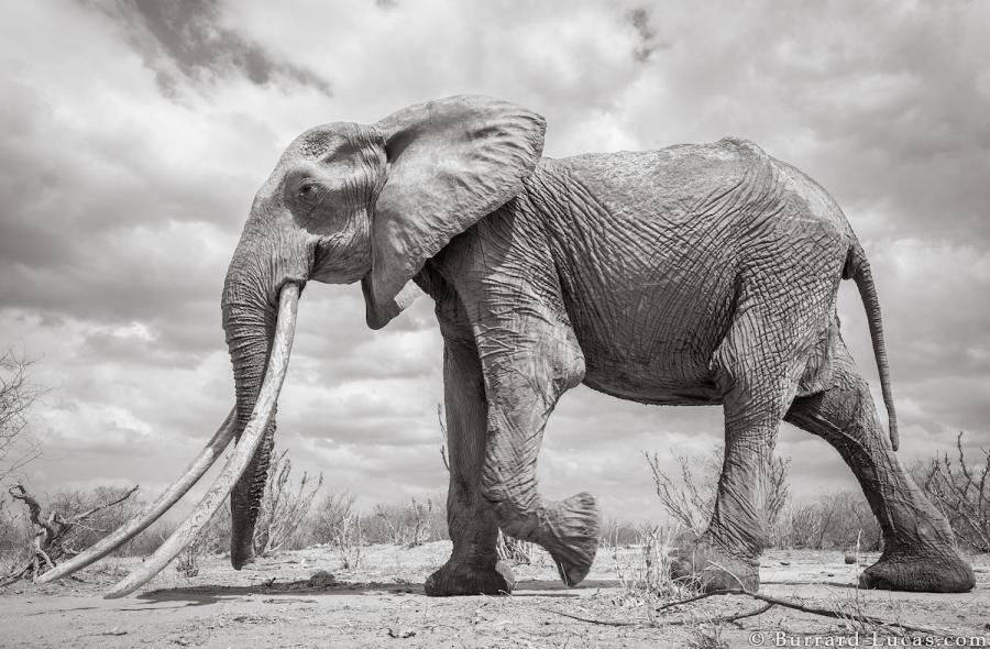 """Povestea ultimelor fotografii cu """"Regina elefantilor"""" - Poza 3"""