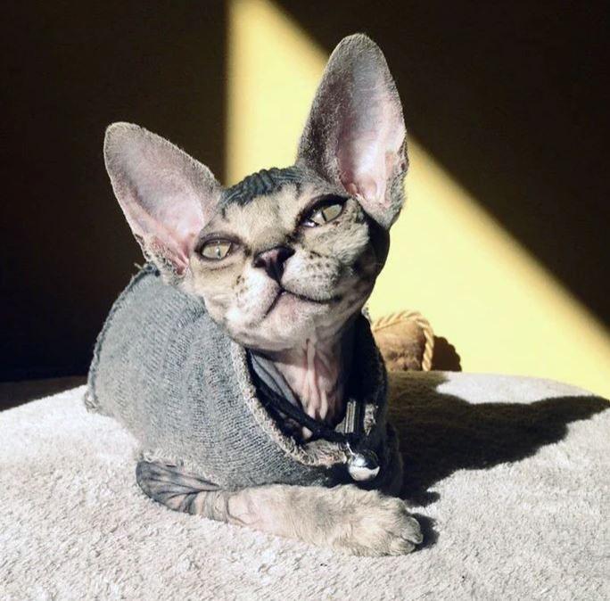 Frumusetea bizara a pisicutelor Sphynx, in poze de exceptie - Poza 12