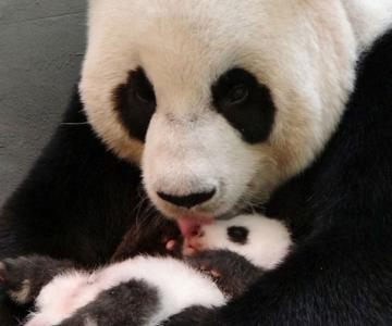 Un pui de panda in 10 fotografii adorabile!