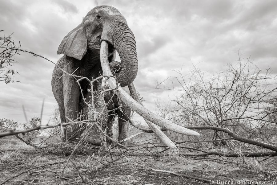 """Povestea ultimelor fotografii cu """"Regina elefantilor"""" - Poza 4"""