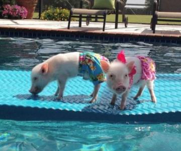 Cei mai haiosi porcusori pitici fac furori pe internet