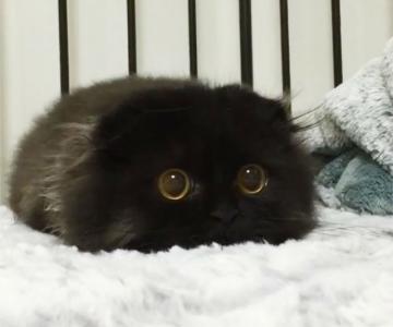 Gimo, ghemotocul de blana cu ochi hipnotizanti