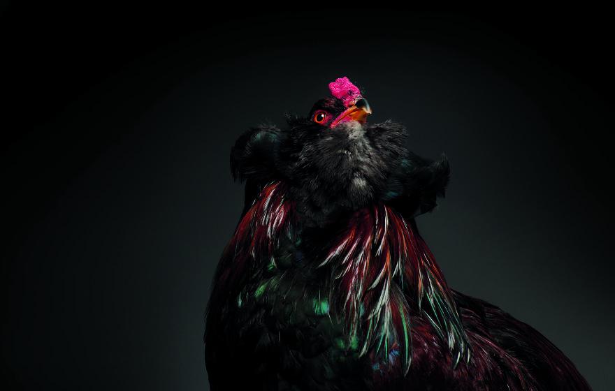 Cele mai rare si mai frumoase rase de gaini din lume - Poza 17