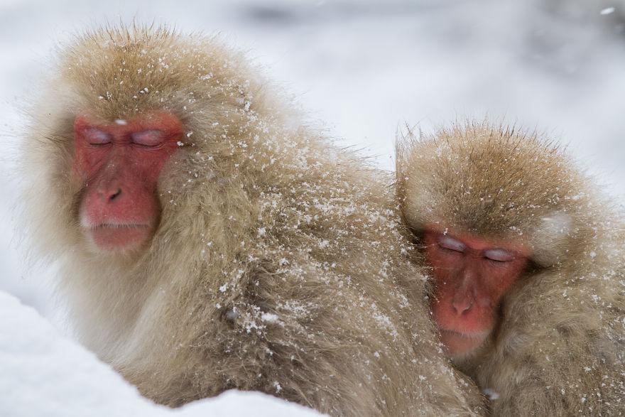 Expresiile impresionante ale maimutelor de zapada - Poza 2