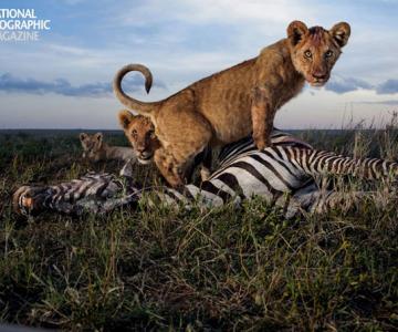 Cu leii in Serengeti, pentru National Geographic