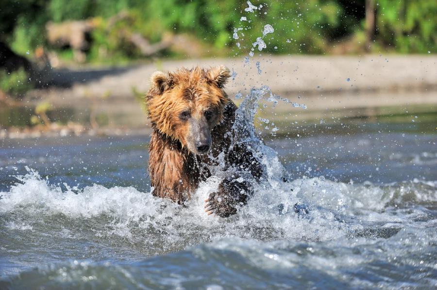 Ursul brun din Kamchatka, intr-un pictorial de exceptie - Poza 4