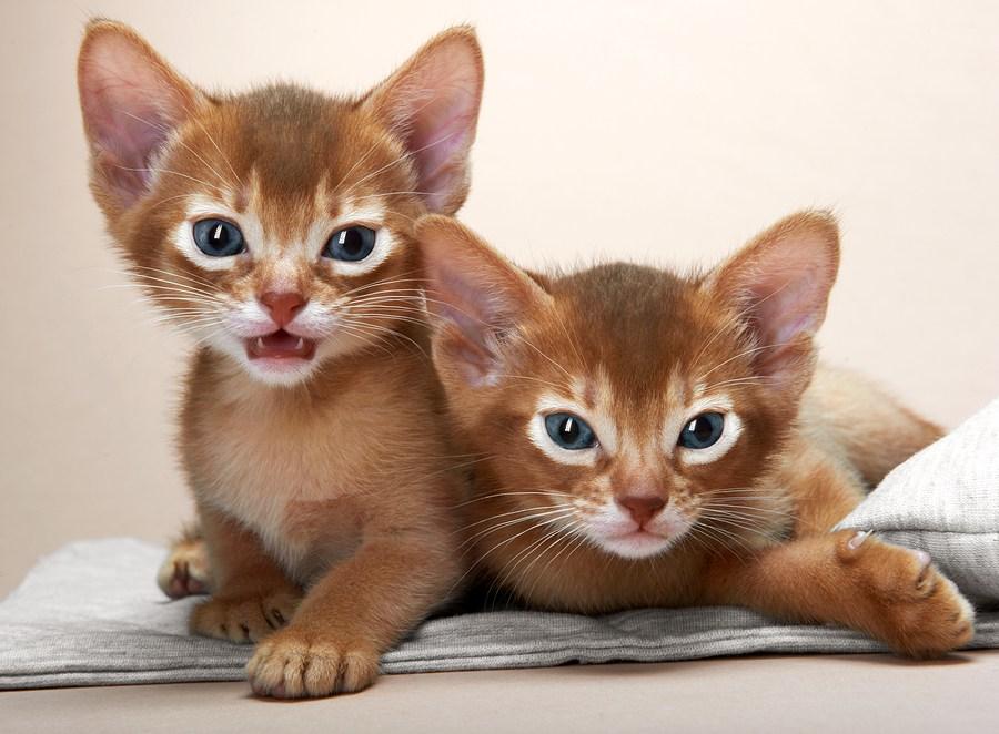 Cele mai frumoase rase de pisici din lume - Poza 9