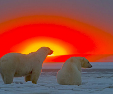 Ursi polari la apus, cu Sylvain Corder
