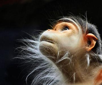Expresivitatea maimutelor in 10 fotografii