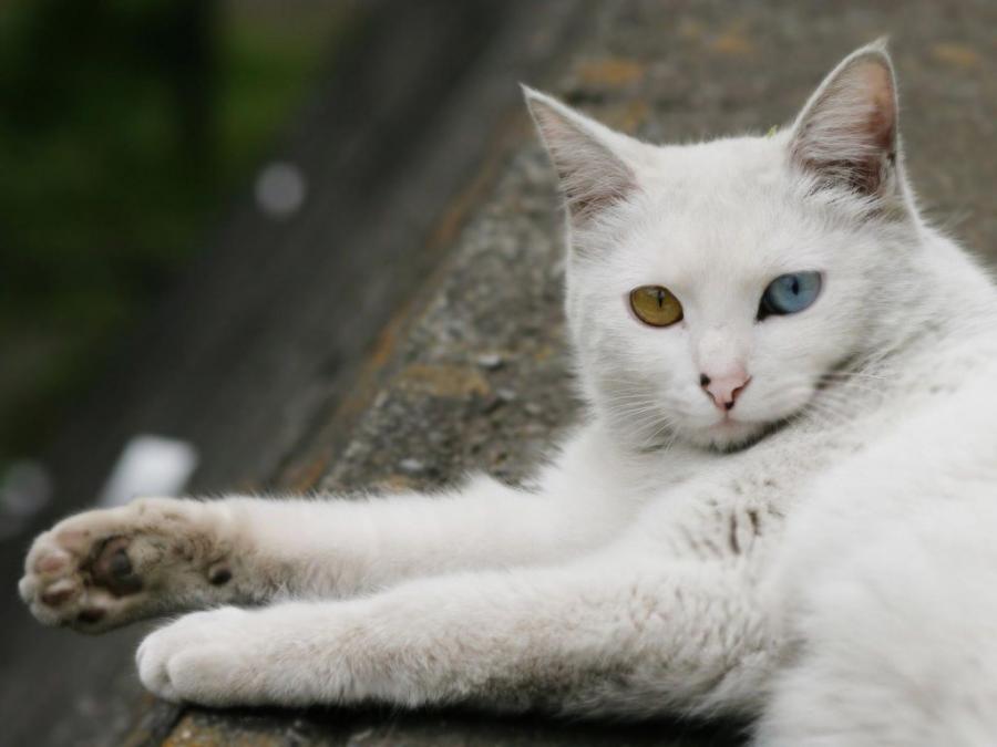 Cele mai frumoase rase de pisici din lume - Poza 4