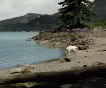 Nissan Leaf: Ursul polar