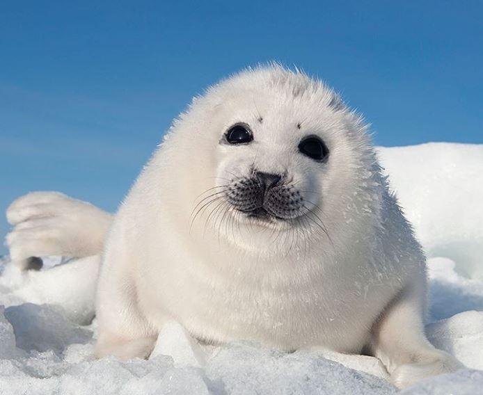 Cele mai simpatice animalute de la Polul Nord, in poze adorabile - Poza 14