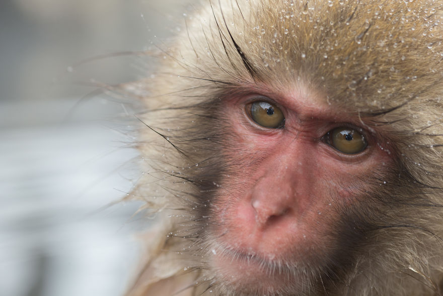 Expresiile impresionante ale maimutelor de zapada - Poza 11