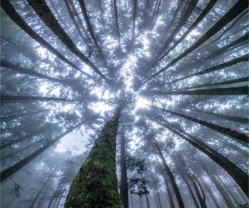 Splendoarea arborilor centenari, in urcusul lor spre cer