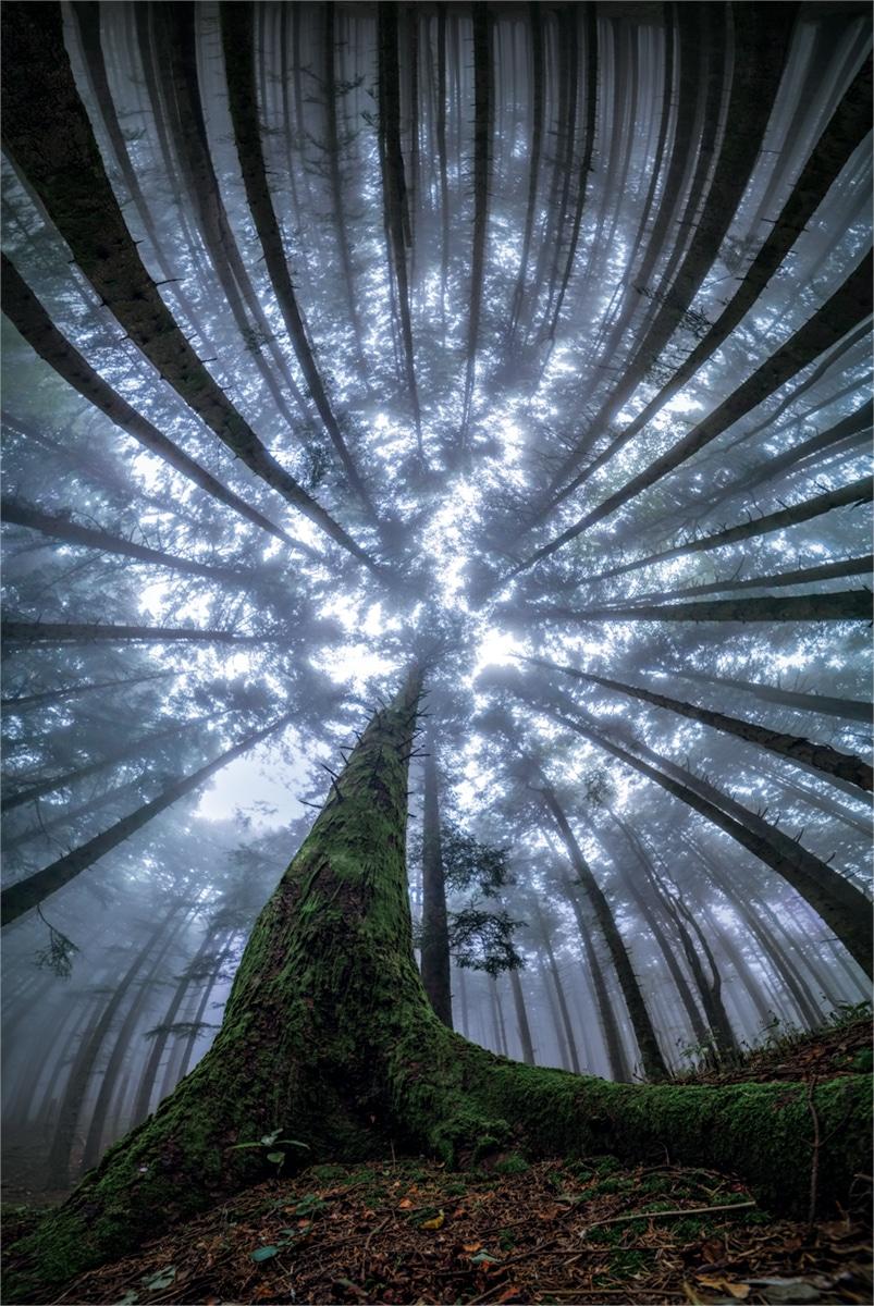 Splendoarea arborilor centenari, in urcusul lor spre cer - Poza 1
