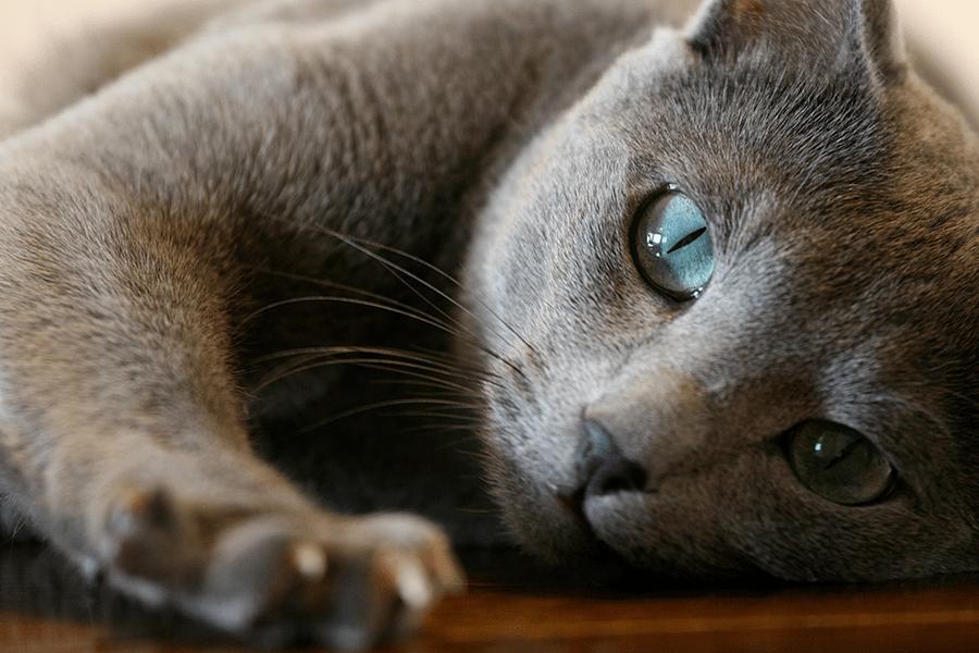 Cele mai frumoase rase de pisici din lume - Poza 3