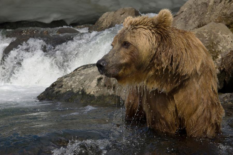 Ursul brun din Kamchatka, intr-un pictorial de exceptie - Poza 11