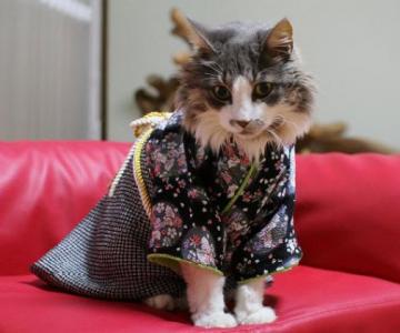 Pisicile in chimonouri fac furori in Japonia