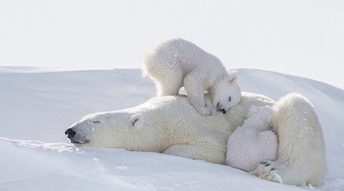 Cele mai simpatice animalute de la Polul Nord, in poze adorabile - Poza 4