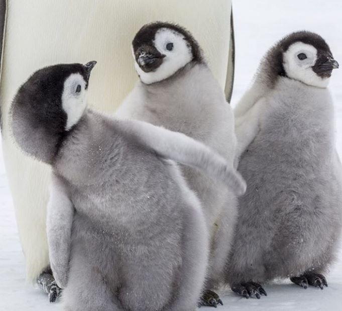 Cele mai simpatice animalute de la Polul Nord, in poze adorabile - Poza 11