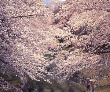 25 de flori din Japonia