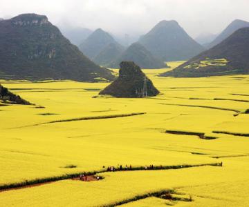 Oceanul de flori galbene din China