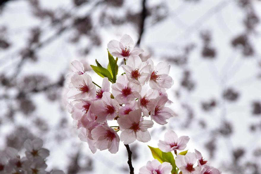 Splendoarea ciresilor infloriti, in poze superbe - Poza 2