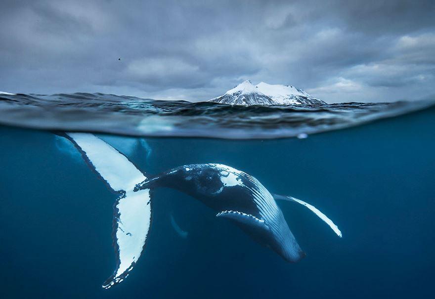 Balenele din Oceanul Inghetat, in poze superbe - Poza 3
