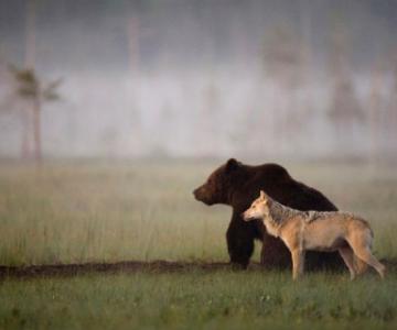 Prietenia dintre un urs si un lup, in 10 poze impresionante