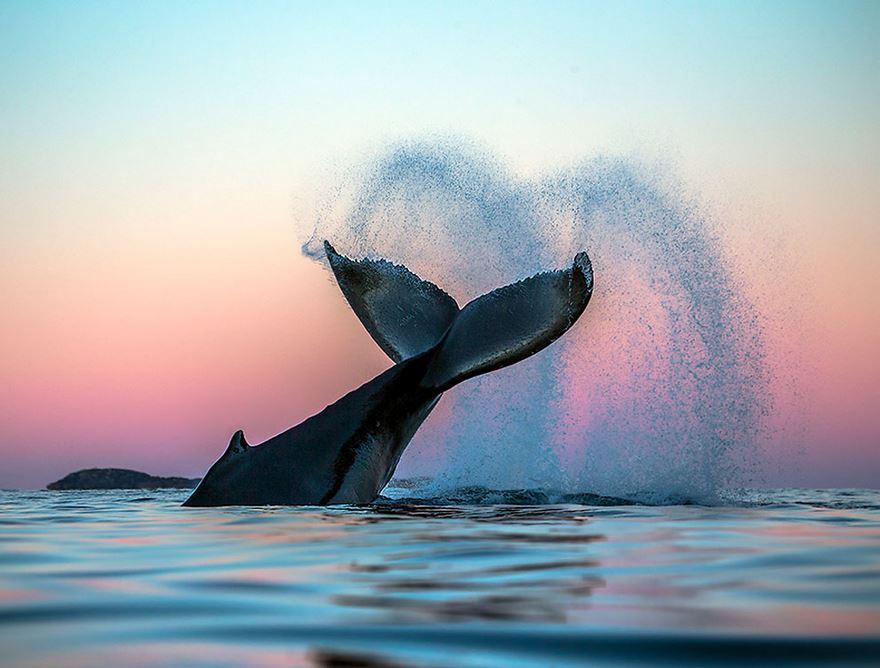 Balenele din Oceanul Inghetat, in poze superbe - Poza 5