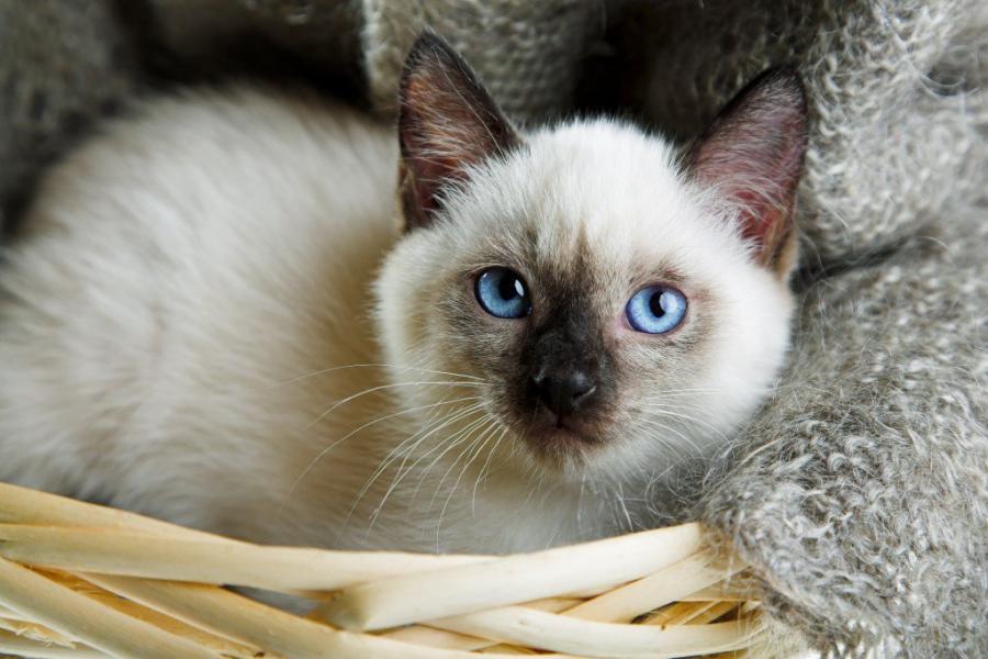 Cele mai frumoase rase de pisici din lume - Poza 10