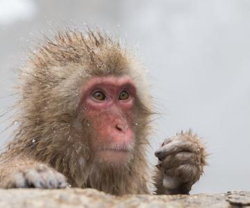 Expresiile impresionante ale maimutelor de zapada